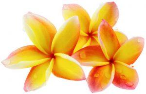 fleurs-de-frangipanier-1-300x193